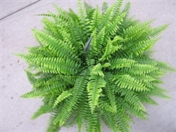 BLUE BELL FERN-Nephrolepis exaltata 'Bostoniensis Blue Bell' TROPICAL