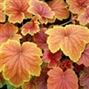 HEUCHERA DELTA DAWN LARGE ROUND LEAVES WITH RED CENTERS RED VEINS Z 4-9