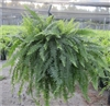 True Boston--Nephrolepis exaltata 'Bostoniensis' ('Massii') TROPICAL