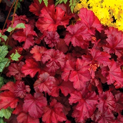 HEUCHERA FIRE CHIEF MID-SIZED LEAVES WINE RED WITH PINK AND WHITE FLOWERS ON DARK RED STEMS Z 4-9