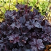 HEUCHERA OBSIDIAN STANDARD BLACK DOES NOT FADE SHINY BROAD ROUNDED LEAVES Z 4-9