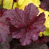 HEUCHERA MIDNIGHT ROSE SHINY, PINK-SPOTTED BLACK LEAVES ROUNDED HABIT Z 4-9