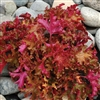 HEUCHERA ZIPPER BRIGHTLY COLORED RUFFLED LEAVES BRIGHT ORANGE TO GOLDEN AMBER MAGENTA BACK Z 4-9