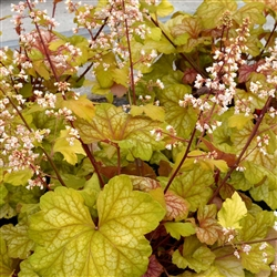 HEUCHERA CHAMPAGNE MEDIUM LEAVES PEACH TO GOLD COLOR MAROON STEMS WITH LT PEACH FLOWERS Z 4-9