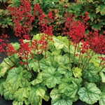 HEUCHERA TOKYO LARGE TIGHT MOUND OF LIME GREEN FOLIAGE WITH RED BLOOMS IN JULY Z 4-9
