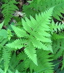 Fern New York Fern-Thelypteris noveboracensis  Z 4-8