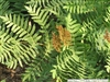 FERN ROYAL FERN-Osmunda regalis Zone 3-9