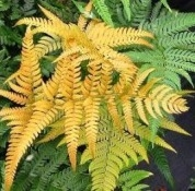 Temporarily Out of Stock......NEW UNIQUE GOLDEN MIST FERN-Dryopteris labordei Zone 5-8