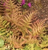 "BRILLIANCE AUTUMN FERN-Dryopteris erythrosora ""Brilliance""  Zone 5-8"