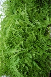 NEW UNIQUE VICTORIA LADY FERN-Athyrium filix-femina 'Victoriae'