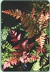 TEMPORARILY OUT OF STOCK......TRY US AGAIN IN THE SPRING.....NEW UNIQUE Koidzuma's Wood Fern-Dryopteris koidzumiana
