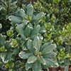 VARIEGATED PITTOSPORUM- Pittosporum tobira 'Variegata' Zone 8