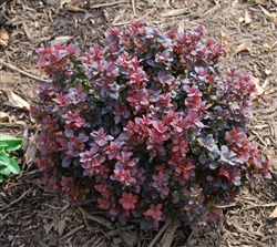 "Crimson Pygmy Dwarf Japanese Barberry-Berberis thunbergii ""Crimson Pygmy"" Deciduous Shrub Zone 4"
