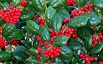 Dwarf Burford Holly-Ilex cornuta 'Dwarf Burford' Shrub Zone: 7