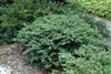 Heller's Japanese Holly-Ilex crenata 'Helleri' Evergreen Shrub Zone 6