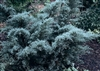 Angelica Blue Juniper-Juniperus chinensis 'Angelica Blue' Evergreen Shrub Zone: 4