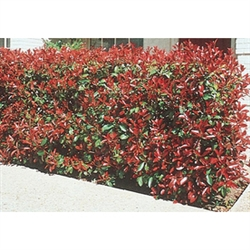 RED TIP PHOTINIA-Photinia fraseri  Evergreen Landscape Shrub Zone 7