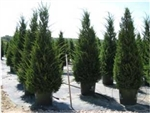HETZII CULUMNARIS JUNIPER-Juniperus chinensis 'Hetzii Columnaris' Evergreen Shrub Zone: 4