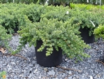 Blue Pacific Shore Juniper-Juniperus conferta 'Blue Pacific' Evergreen Shrub Zone:  5