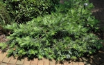 Spreading Japanese Plum Yew-Cephalotaxus harringtonia 'Prostrata' Ground Cover Shrub Zone:  6