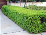 JAPANESE BOXWOOD-Buxus microphylla japonica Zone 5
