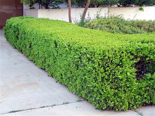 japanese boxwoodbuxus microphylla japonica shrub zone 5