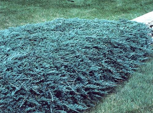 Blue Rug Juniper Juniperus Horizontalis Wiltonii Shrub Zone 3