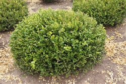 WINTER GEM BOXWOOD-Buxus microphylla 'Winter Gem' Evergreen Shrub Zone:  5