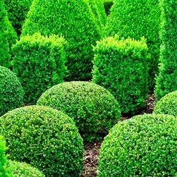 WINTERGREEN BOXWOOD-Buxus sinica var. insularis'Wintergreen' Evergreen Shrub Zone:  4