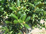 BUFORD HOLLY- Ilex cornuta 'Burfordii' Evergreen Shrub  Zone:  7