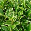 CARISSA HOLLY-Ilex cornuta 'Carissa' Evergreen Shrub Zone:  7