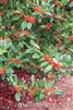 Nellie R. Stevens Holly-Ilex x 'Nellie R. Stevens' Evergreen Shrub Zone: 6