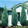Blue Point Juniper-Juniperus chinensis 'Blue Point' Evergreen Shrub Zone: 4