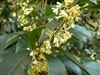 SWEET OLIVE-Osmanthus fragrans Evergreen Shrub Zone:  8