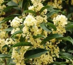 FUDINGZHU TEA OLIVE-Osmanthus fragrans 'fudingzhu Evergreen Shrub Zone:  7