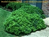 WHEELER'S DWARF PITTOSPORUM- Pittosporum tobira Evergreen Shrub Zone:  8
