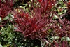 Nandina Burgundy Wine-Nandina domestica Burgundy Wine Evergreen Shrub Zone 6