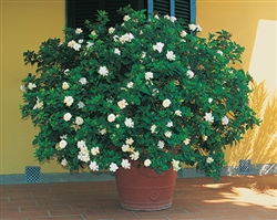 GARDENIA  GARDENIA-Gardenia jasminoides August Beauty Large White Blooms Extremely Fragrant Zone 8