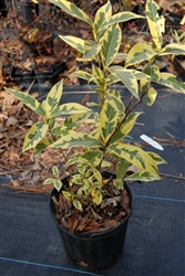 GARDENIA VARIEGATED GARDENIA-Gardenia jasminoides variegata-White and Green Foliage Dwarf to Small White Blooms Zone7