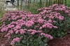 SEDUM STONECROP spectabile 'MATRONA' BLOOM PALE PINK ON RED STEMS SUMMER TO FALL  ZONE 3-10