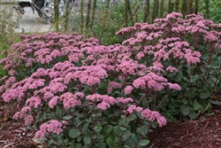 OUT TILL LATER SEDUM STONECROP spectabile 'MATRONA' BLOOM PALE PINK ON RED STEMS SUMMER TO FALL  ZONE 3-10