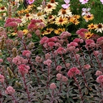 SEDUM MARINA-ROSE PINK FLOWERS BLUE-GREY LEAVES ZONE 4-9