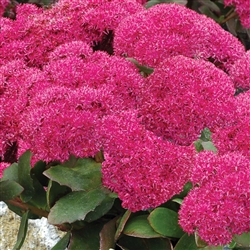 SEDUM BIRTHDAY PARTY-DEEP ROSE PINK FLOWER HEADS PURPLE-MAROON LEAVES ZONE 4-9