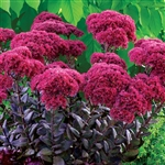 SEDUM THUNDERHEAD-DEEP ROSE FLOWER HEADS GREY-GREEN FOLIAGE ZONE 4-9