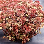 SEDUM PEACH PEARLS-BURGUNDY LEAVES ROSE-GOLD FLOWERS MULTIPLE CROWNS ZONE 4-9