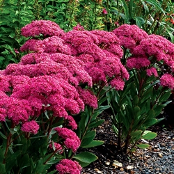 SEDUM MR. GOODBUD-TIGHT FOLIAGE STRONGLY CONTRASTING COLORS LT BUDS AND DARK MAUVE FLOWERS ZONE 4-9