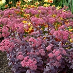 SEDUM CHERRY TRUFFLE-MULTIPLE CROWN OF UPRIGHT FOLIAGE PAINTED IN PURPLE, BLACK, GREEN AND GREY ZONE 4-9