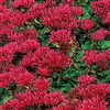 **Sold out till spring***SEDUM 'DRAGONS BLOOD' STONECROP spurium 'Fuldaglut' BLOOM SMALL RED CLUSTERS SUMMER TO FALL  ZONE 3-10
