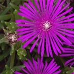 DELASPERMA cooperi-PURPLE ICE PLANT PURPLE BLOOMS ZONE 5-9