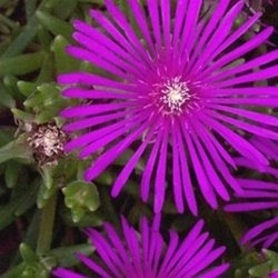 TEMPORARILY OUT OF STOCK....DELASPERMA cooperi-PURPLE ICE PLANT PURPLE BLOOMS ZONE 5-9